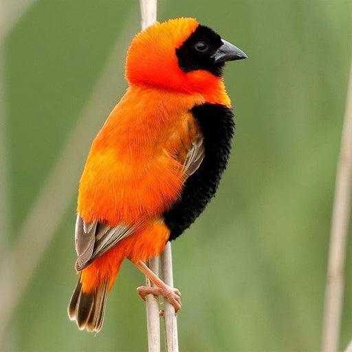 Red Bishop - New York Bird Supply