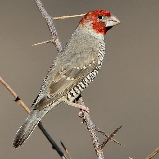 Red Headed Finch - New York Bird Supply