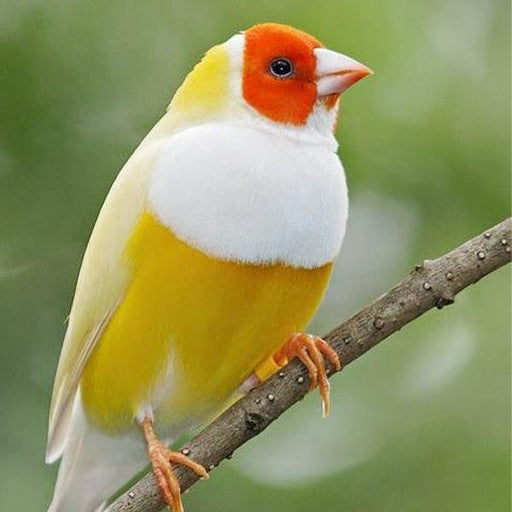 Yellow Back Gouldian Finch - New York Bird Supply