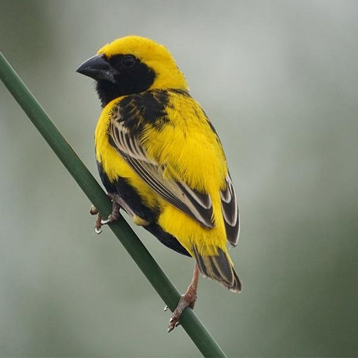 Yellow Crowned Bishop - New York Bird Supply