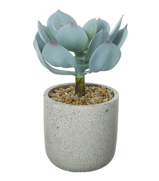Potted Echeveria Dusky Green