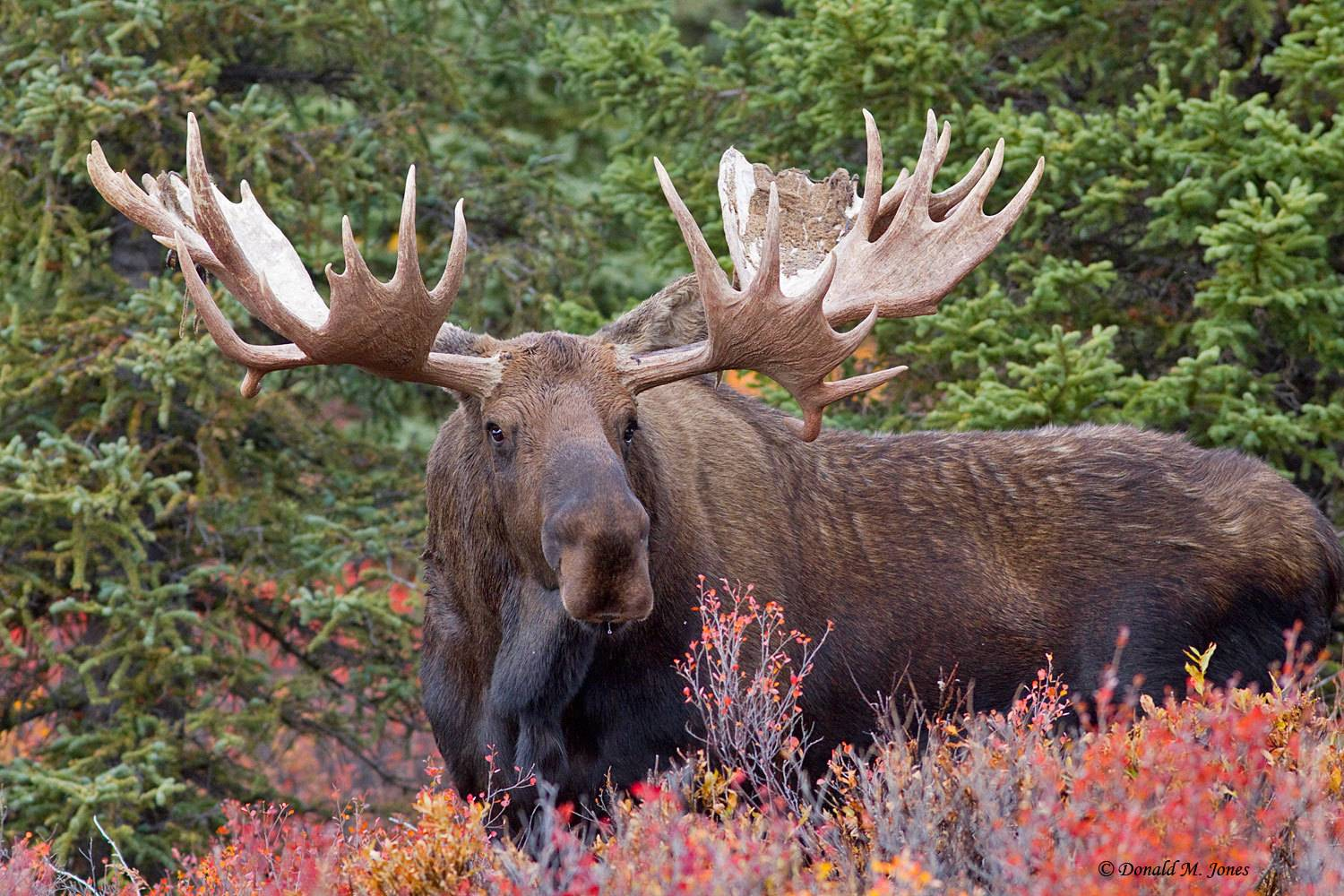 Journey to Moose Hunting in Alaska