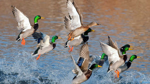 Best 5 Waterfowl Hunting Videos That You Need to Watch!