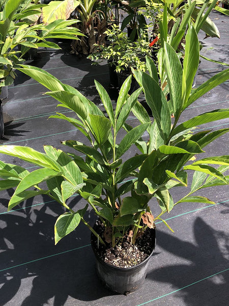 Alpinia purpurata (white bract form)