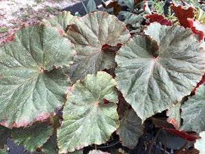 Begonia 'Nancy Cohen'