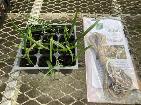 The Million Orchid Project Restoration Mini Kit - Encyclia tampensis