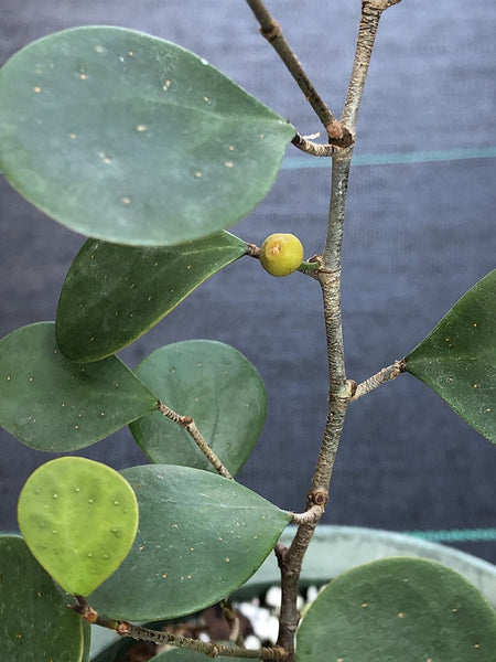 Ficus deltoidea (Small round leaf, reddish orange undersides)
