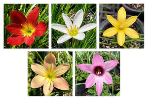 Rain Lilies (Special Selection) - 5 pack