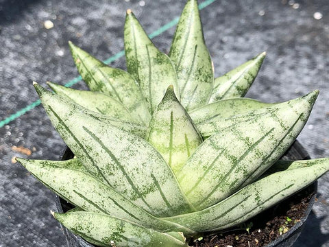 Sansevieria 'Boncel Mini'