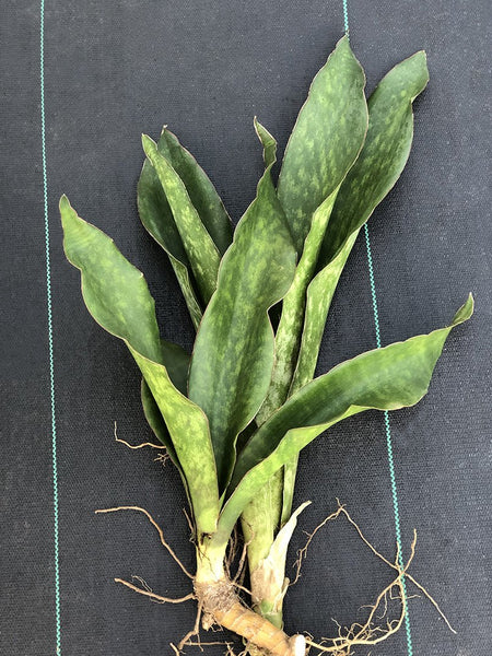 Sansevieria cf. liberica - Bare root