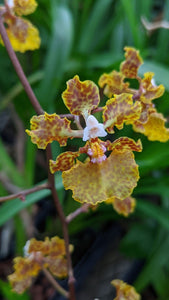 The Million Orchid Project Restoration Kit - Trichocentrum undulatum