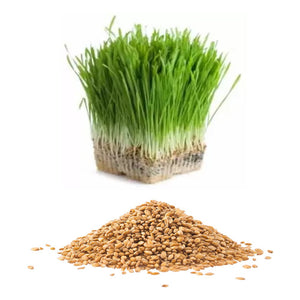 Wheatgrass Sprouting Seed
