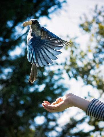 Blue Jay flying with peanut
