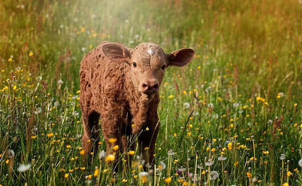 saving animals by becoming vegan little brown calf