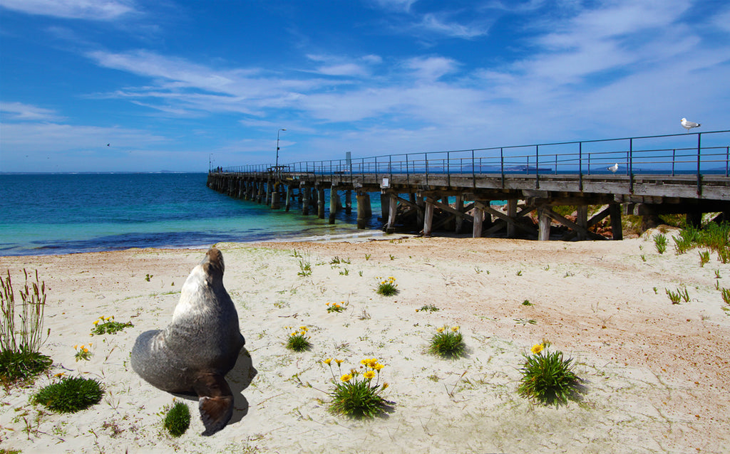 Sammy the Seal at the tanker Jetty along the foreshore prior to the redevelopment and the jetty closed