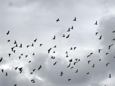Flock of birds in flight on a cloudy day
