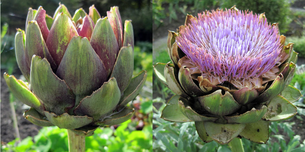 Globe artichokes in the kitchen garden