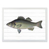 Framed Fish Print - Perch