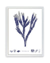 Framed Navy Blue Sea Weed II | Bank and Surf Custom Maps | Framed Sea Weed