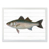 Framed Fish Print - Striped Bass