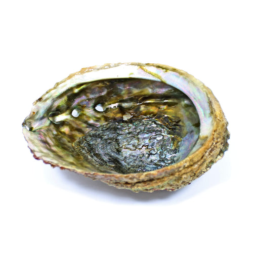 Abalone Shell (13cm)