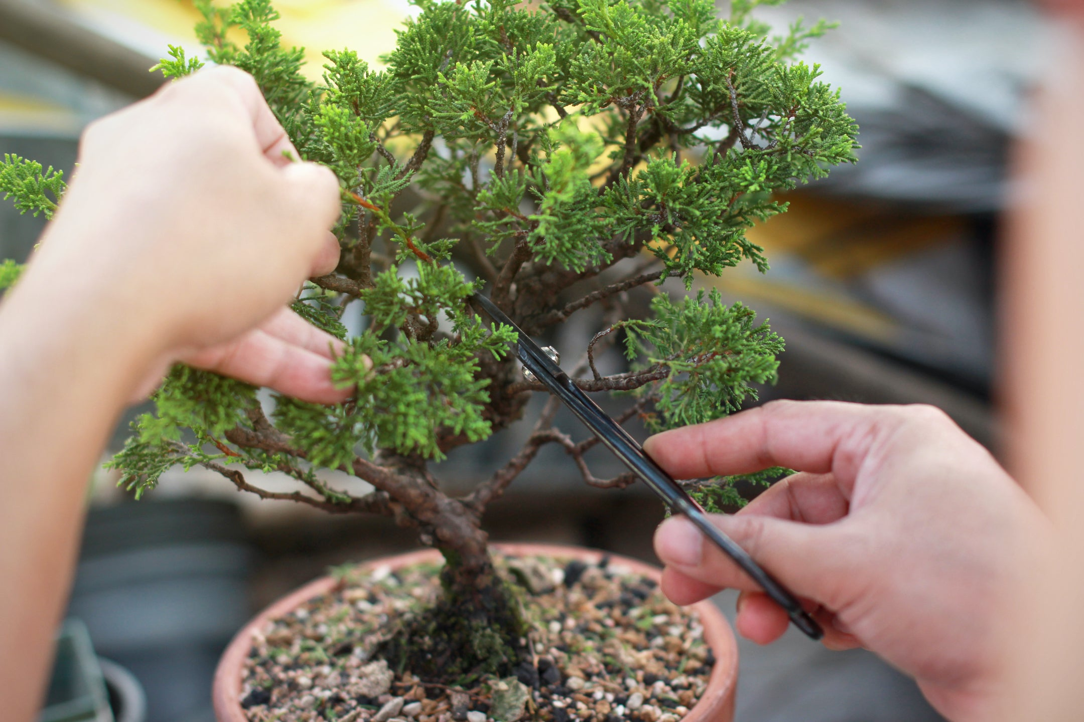 The Bonsai Tree Meaning History Benefits Karma And Luck