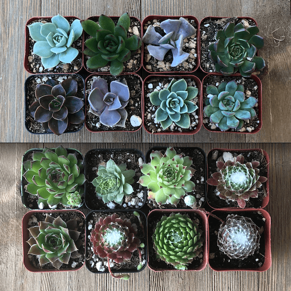 Echeveria and Sempervivum: What's the Difference?
