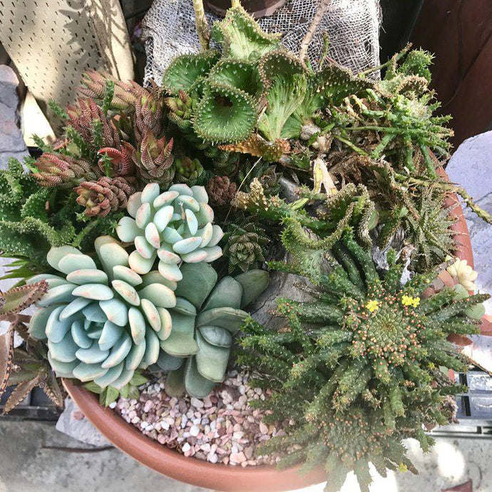 Succulent Dormancy - Everything You Need to Know