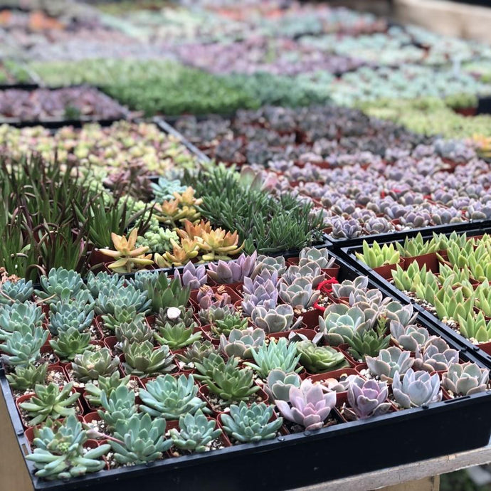 Where do Succulents Naturally Grow?
