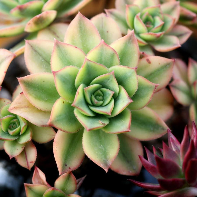 Adorable Mini Succulents: Uses and Care Tips