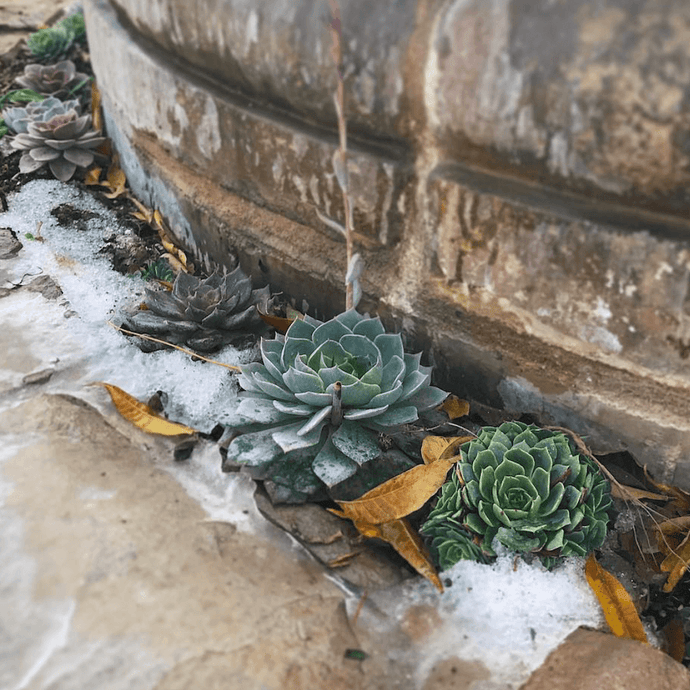 Can I Leave Succulents Outside in Winter?