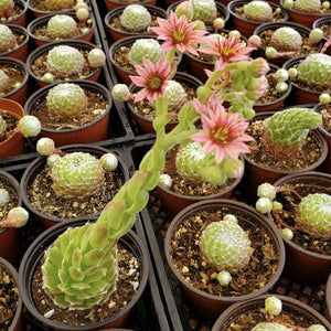 Blooming Succulents Tips: When Succulents Flower