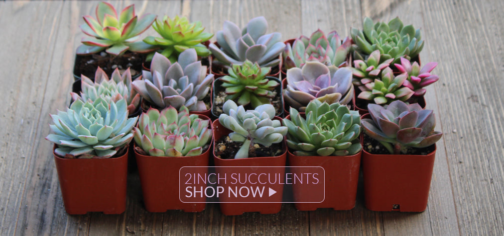 2 inch Succulents for Sale