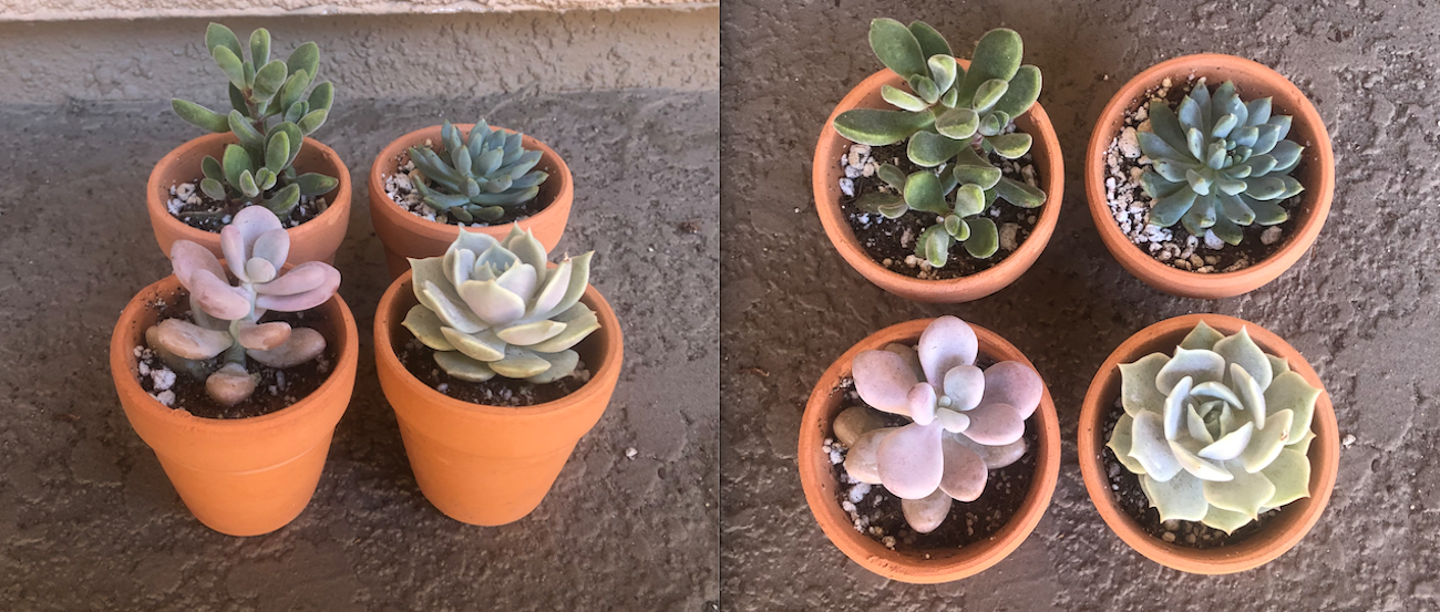 Succulent Growth Rate July 15 Summer