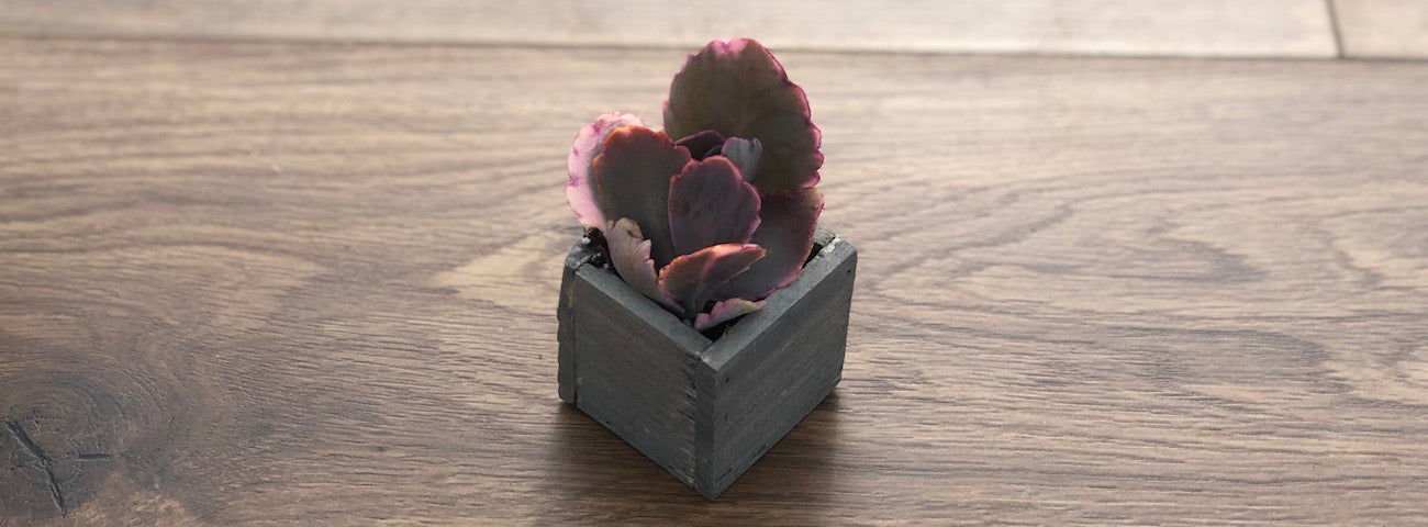 Young Kalanchoe Aurora Borealis succulent in wooden container