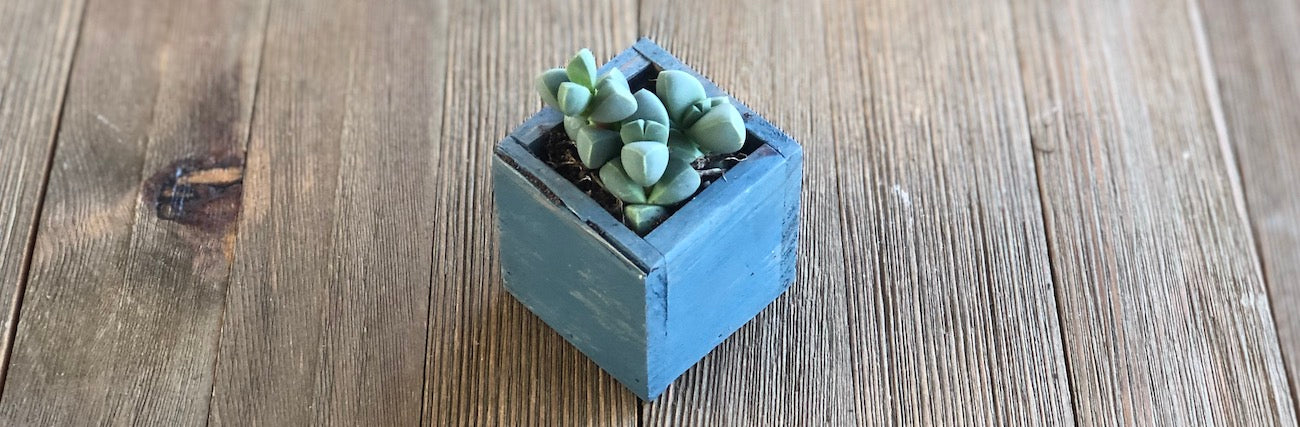 Small Young Corpuscularia lehmannii Ice Plant in blue wooden pot