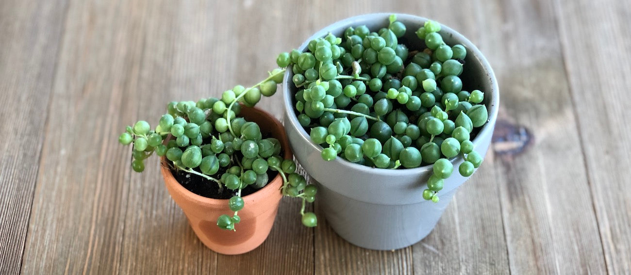 Small and large String of Pearls in pots