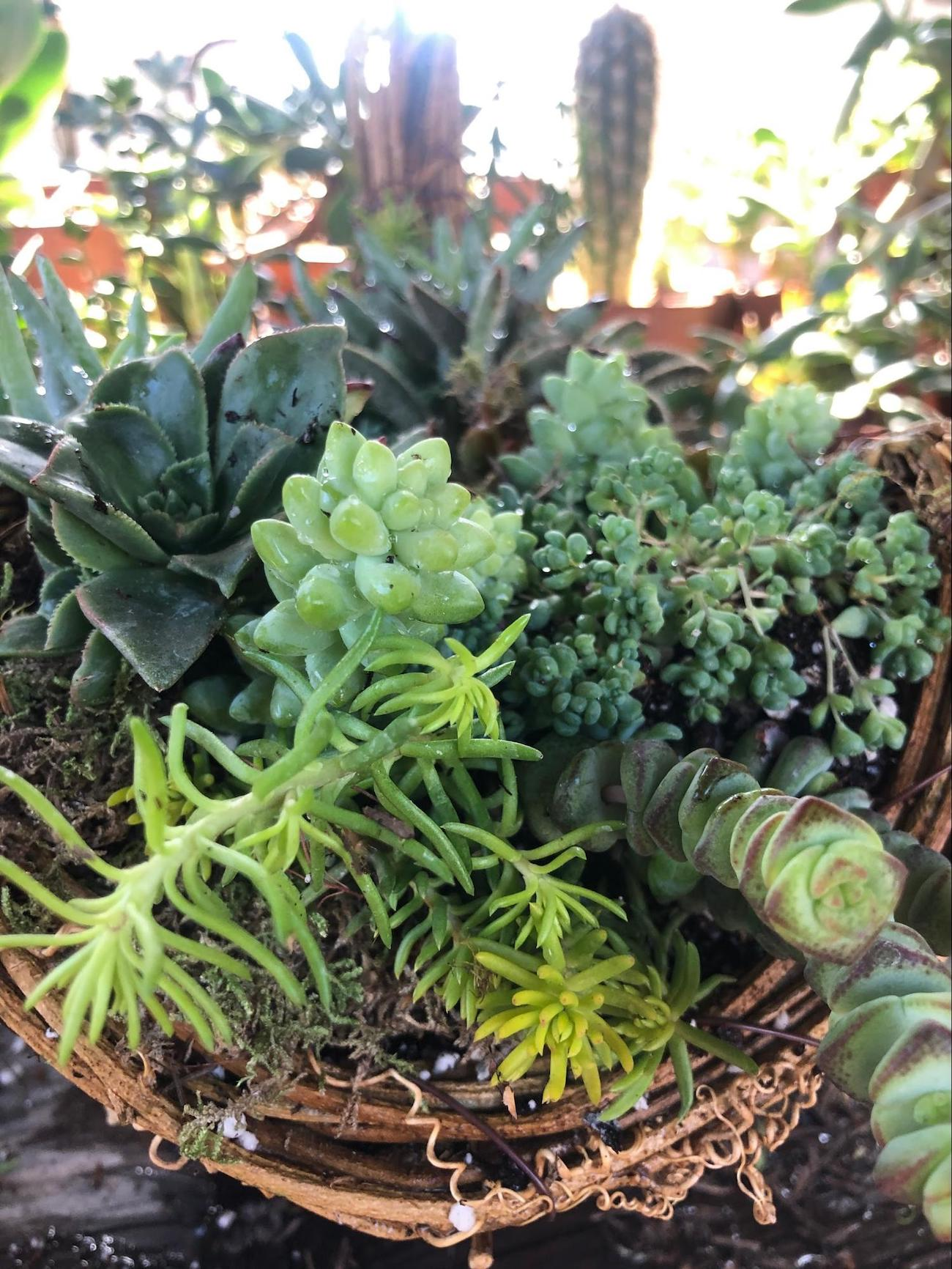 Cover bare parts of cornucopia with more succulents or moss