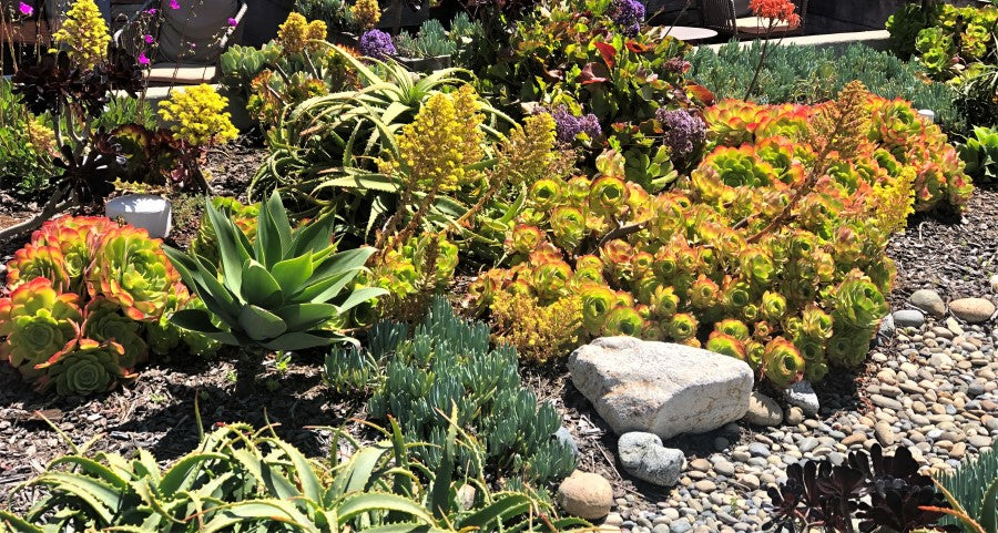 Do succulents like to be crowded in landscapes