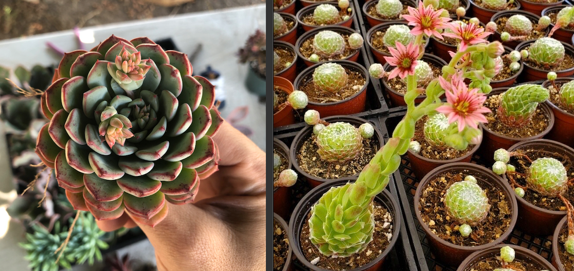 Echeveria and Sempervivum Bloom Differences
