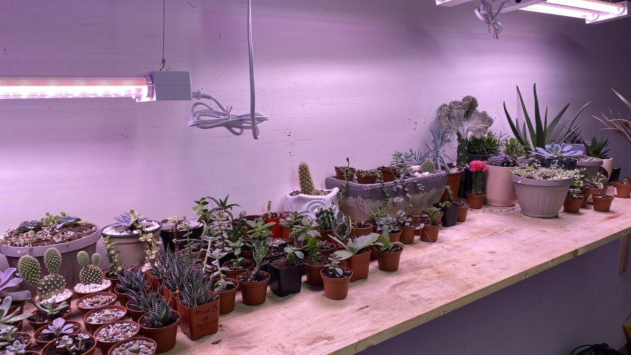 Artificial Grow Lights Hanging Over Succulents