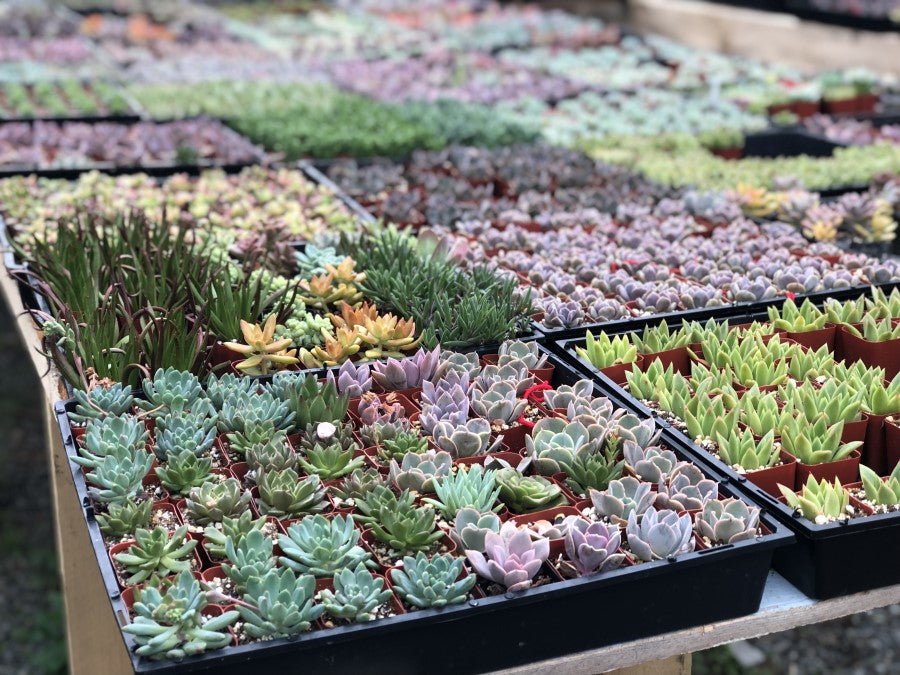 Where Succulents Naturally Grow
