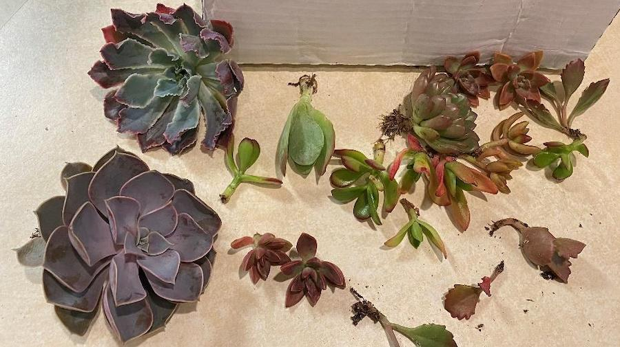 Succulents with roots cut off