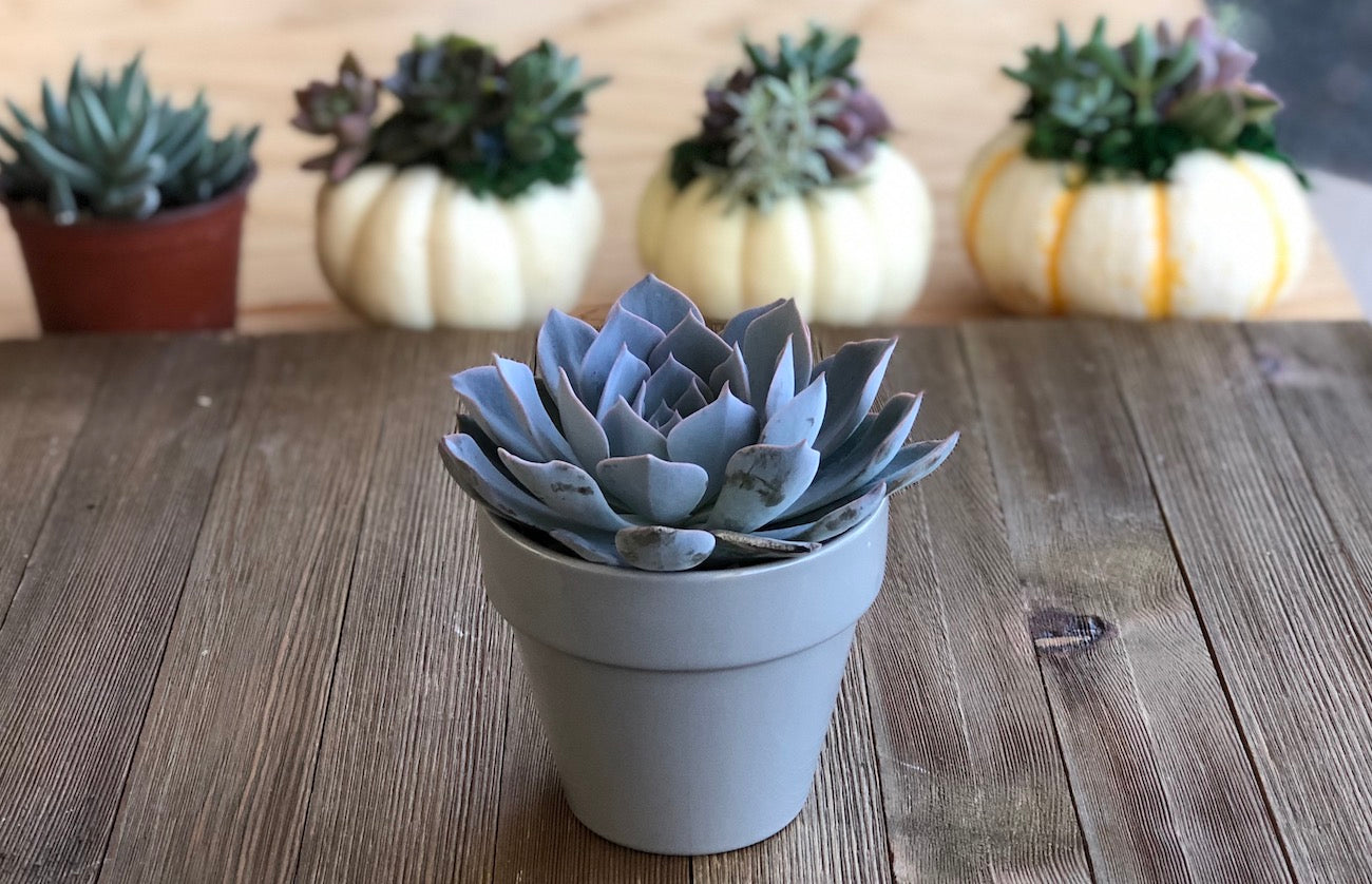 Ceramic pot Echeveria Morning beauty 4 inch