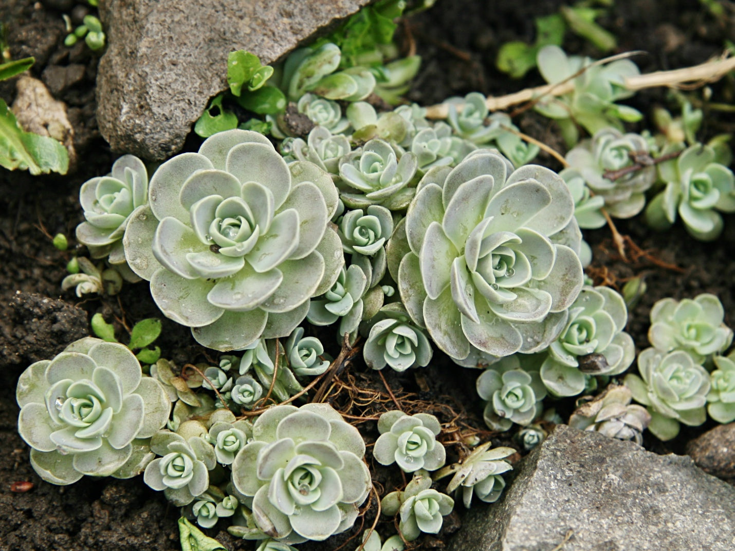 Cold Hardy Succulents