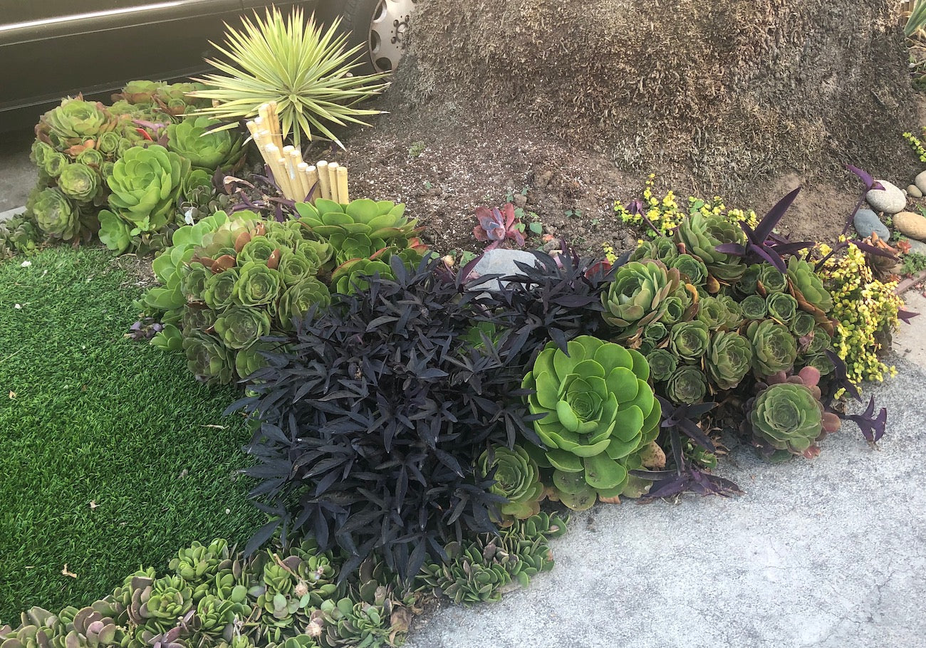 Best Succulent Groundcovers