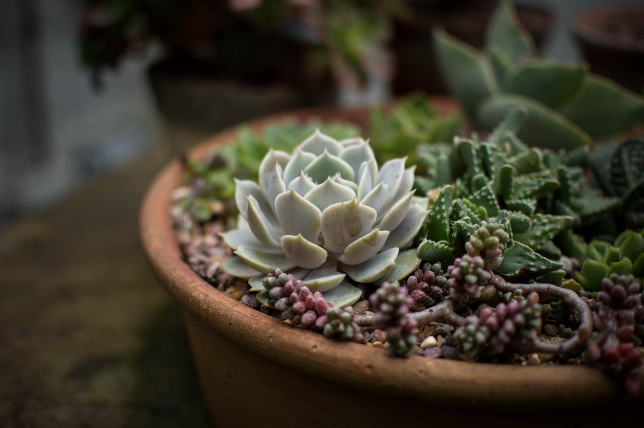 How to care for your succulents in the winter