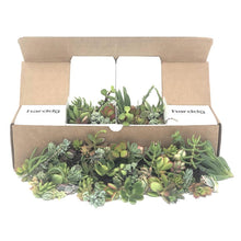 75/100 Assorted Succulent Cuttings | Pack | Harddy