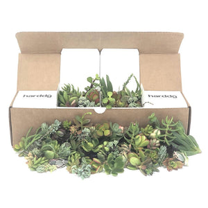 75/100 Assorted Succulent Cuttings | Cuttings - Harddy.com