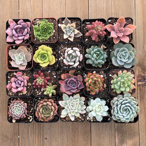 Unique Rosette Succulent Collection - 20 Plants | Small Pack - Harddy.com